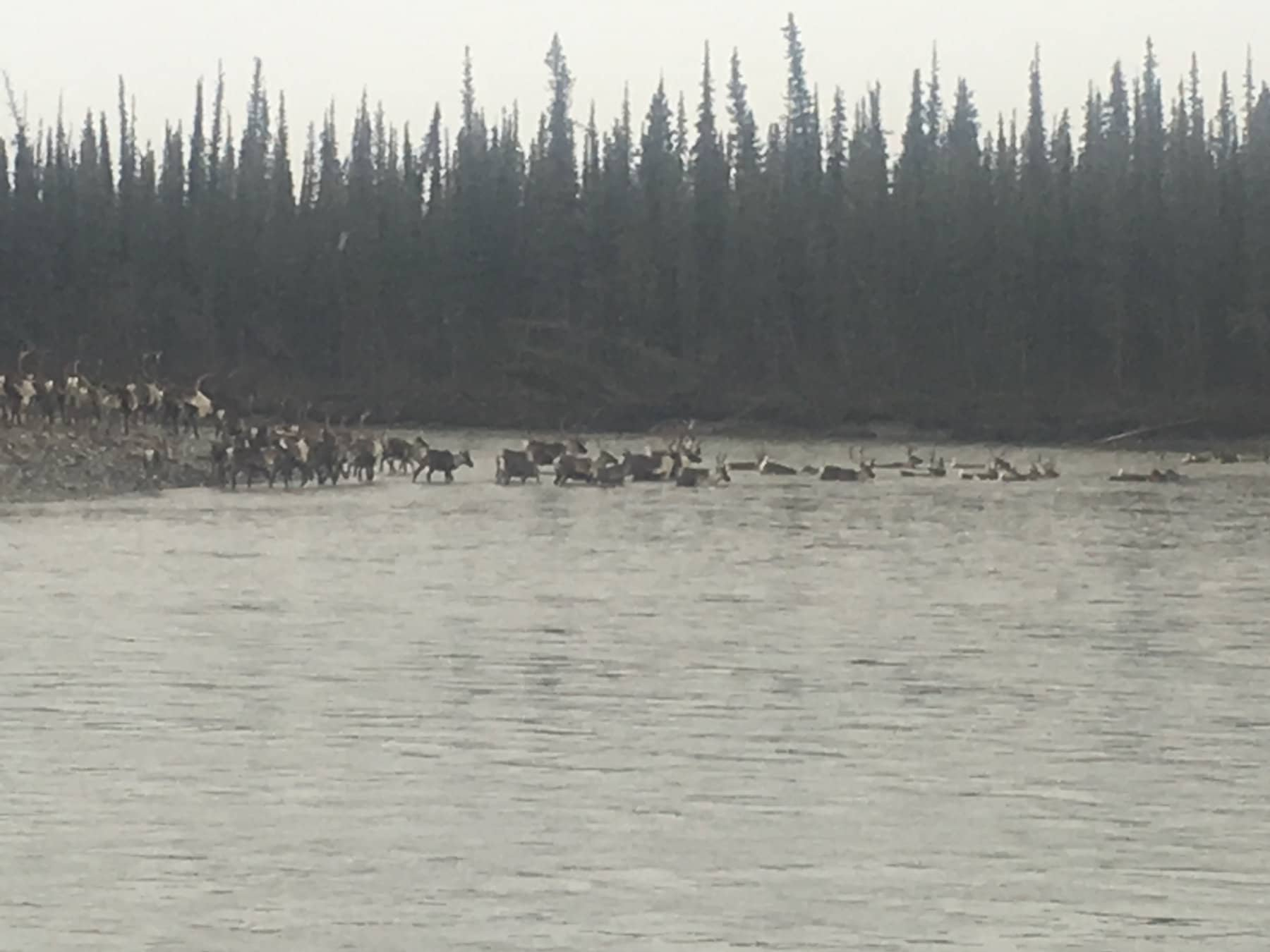Hunting Caribou in Alaska