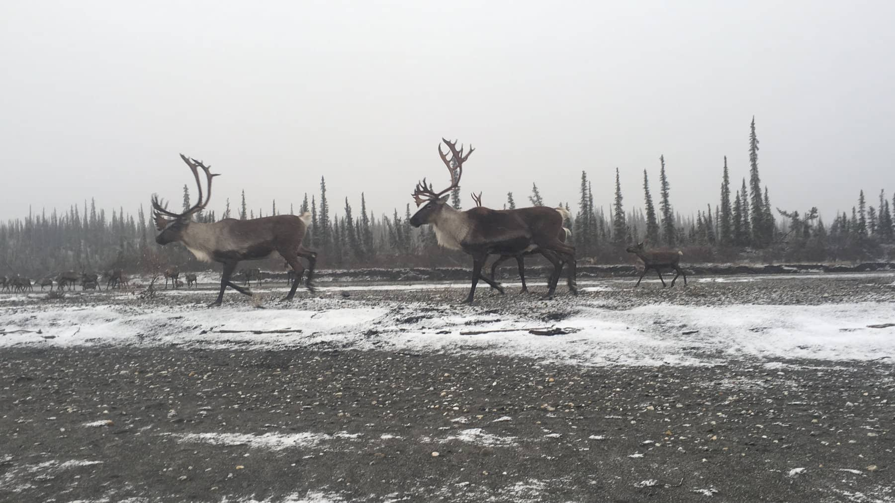 Hunting Caribou in Brooks Range