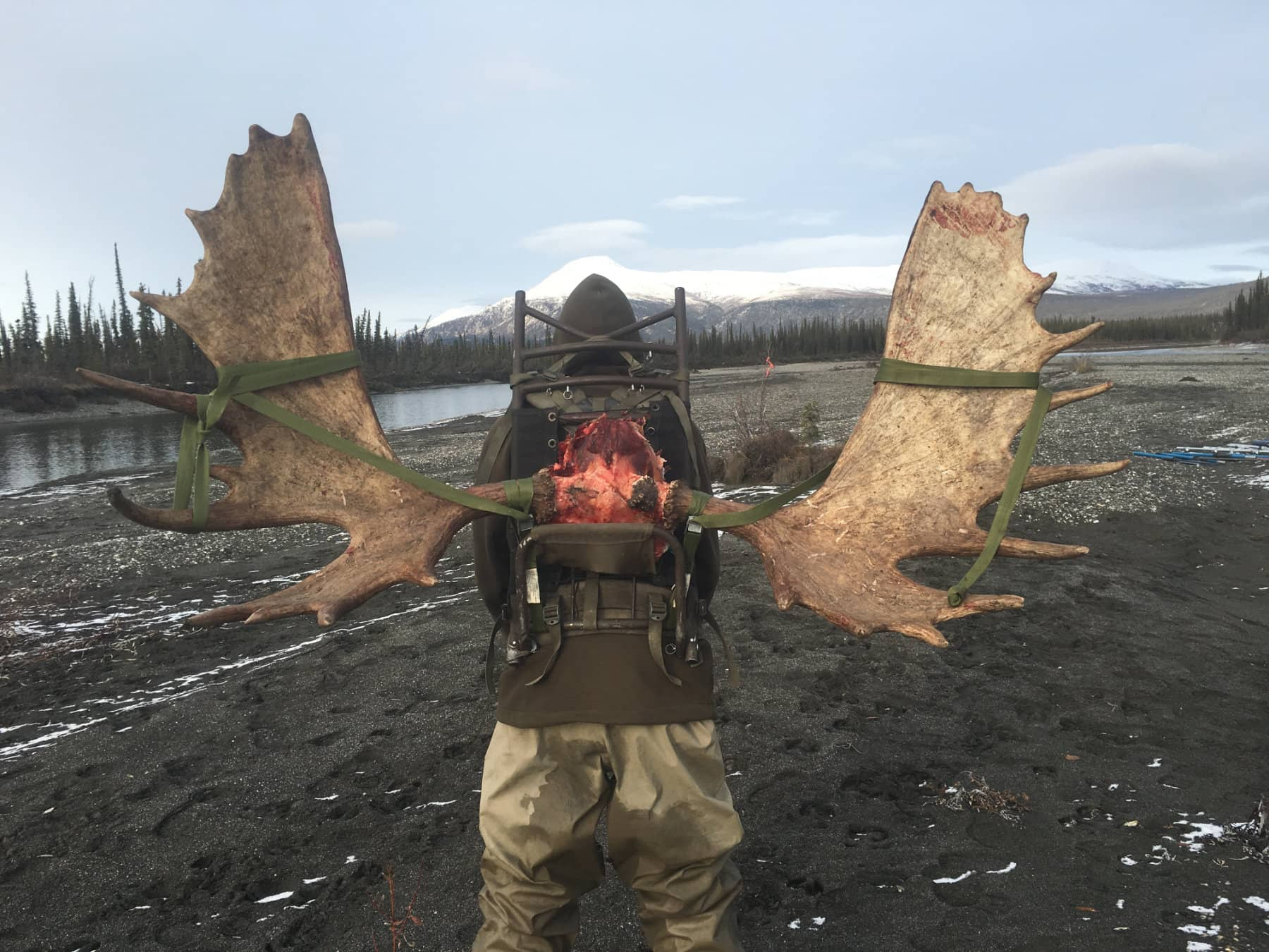 Trophy Alaska Moose Rack